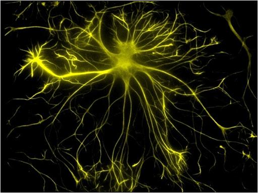 Astrocyte ©Paul De Koninck