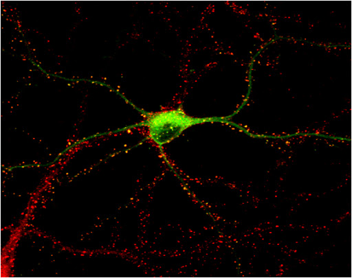 Neuron expressing GFP-CaMKII (green) with immunolabelling of all excitatory synapses (red, PSD-95)  © Paul De Koninck
